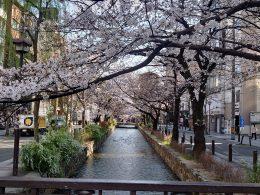 京都名物 木屋町の桜 開花情報